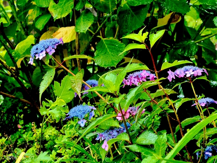 雨の紫陽花①ー3