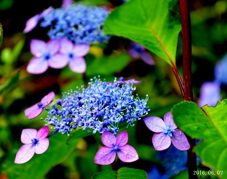 雨の紫陽花①ー6