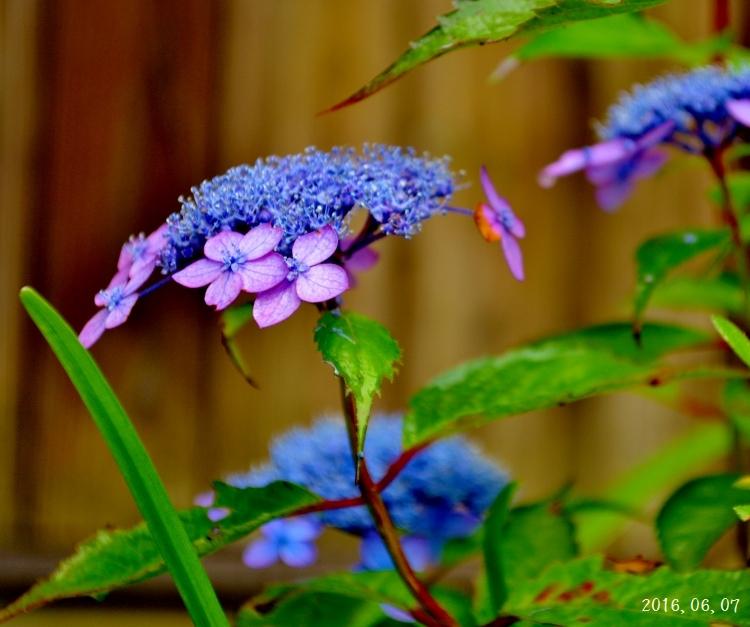 雨の紫陽花①ー7