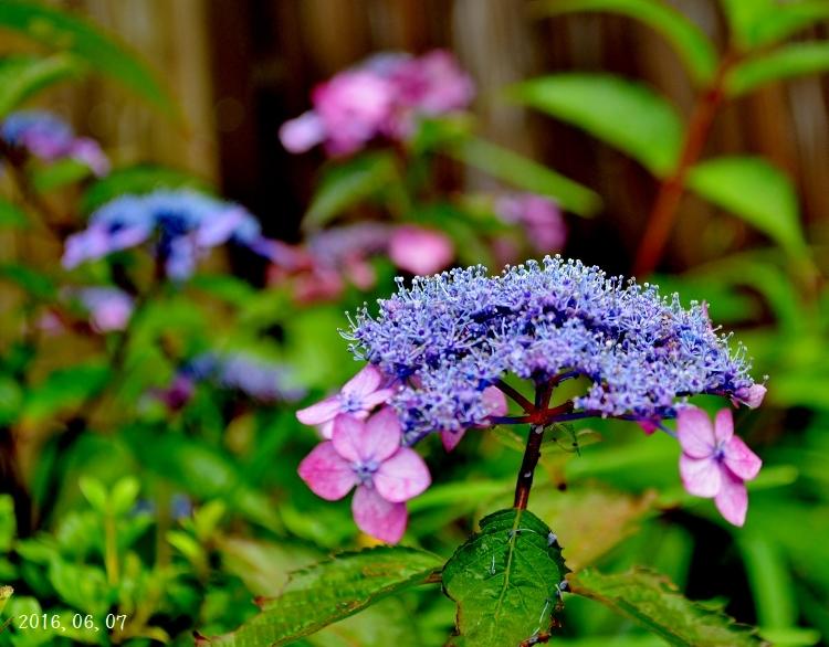 雨の紫陽花①ー8