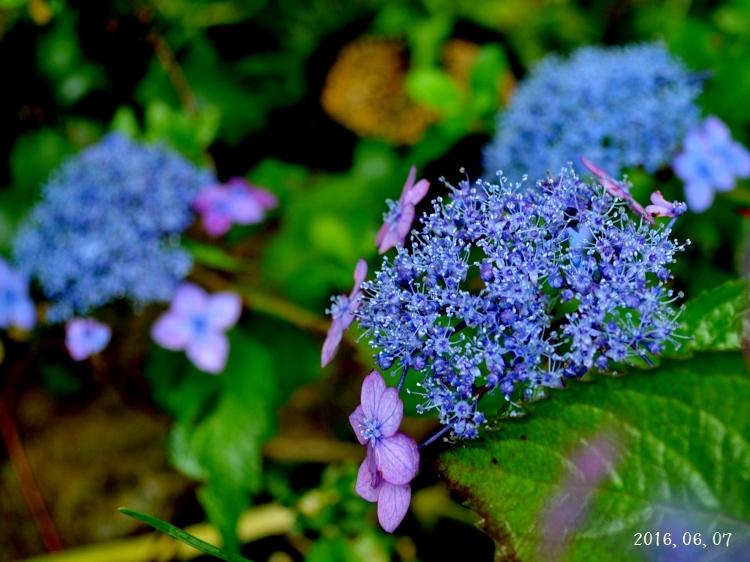 雨の紫陽花①ー10