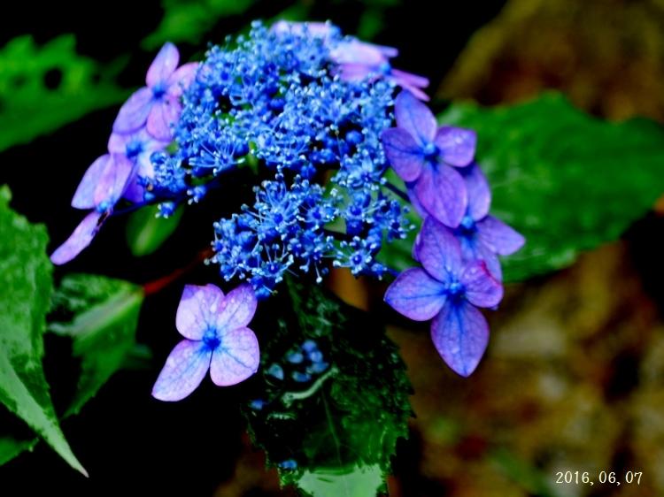 雨の紫陽花①ー12