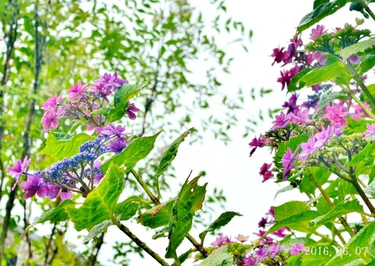 雨の紫陽花②-1