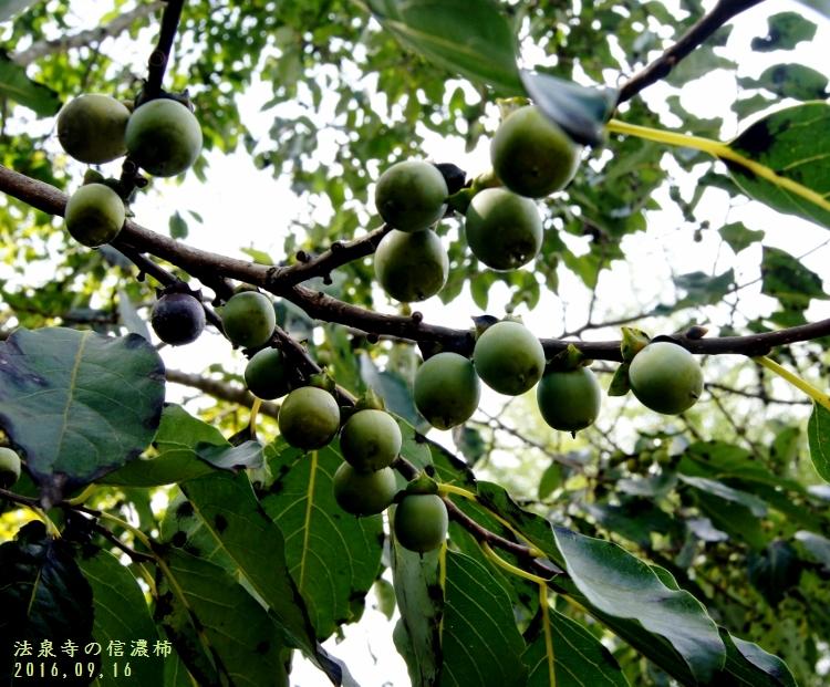 信濃柿 (750x621)