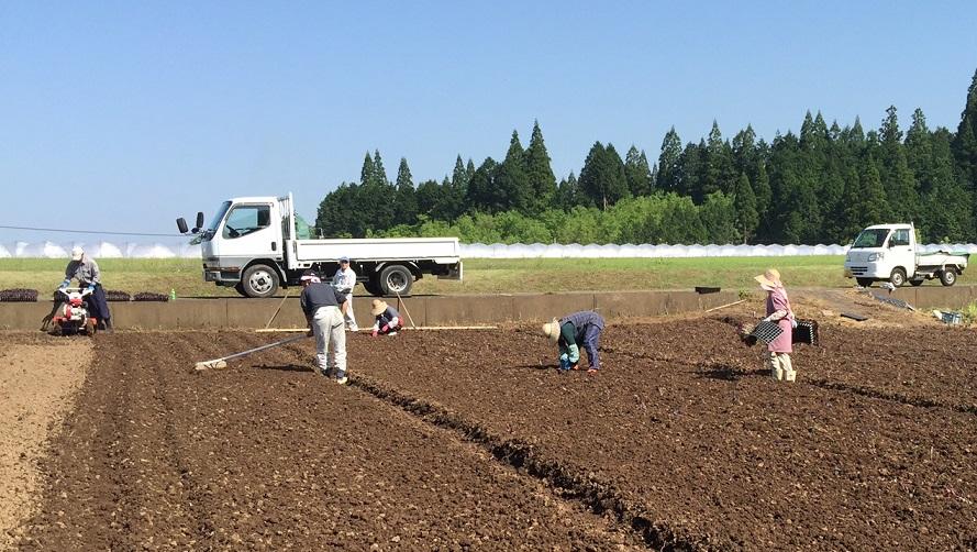 紫蘇苗の植付け作業