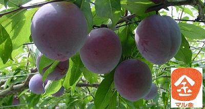 収穫真近のすもも(太陽)の果実