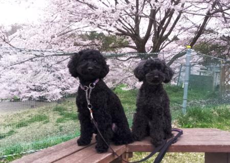 桜の下でにいたんと