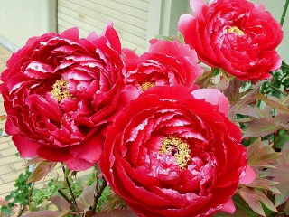 160418_3886家の周りの花壇に咲く芍薬VGA