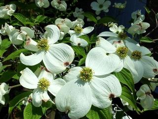 160420_3891今日見かけたハナミズキの花VGA