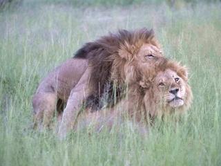 160421 アフリカ・ボツワナの「男装のメスライオン」002 03VGA