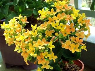 160423_3894今朝のカランコエの花zoomVGA
