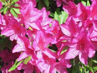 160426_3899お近所の庭に咲く紅いツツジVGA
