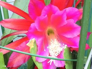 160530_3955今朝の孔雀サボテンの花VGA