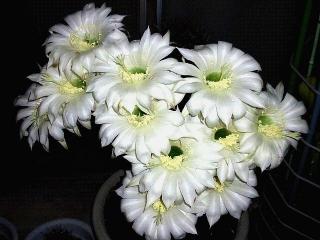 160608_3976ベランダの親「花盛丸」の乱れ咲きVGA