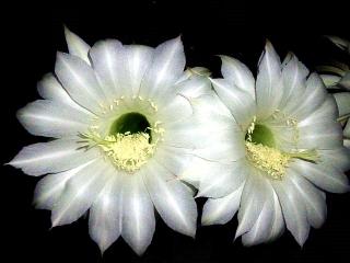 160608_3979ベランダの子「花盛丸」の花VGA