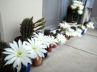 160609_3983今朝のサボテンの花達VGA