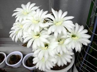 160609_3984今朝の親サボテンの花VGA