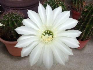 160609_3985今朝の子サボテンの花VGA