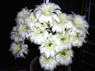 160609_3991昨夜と今夜咲いた親サボテンの花達VGA