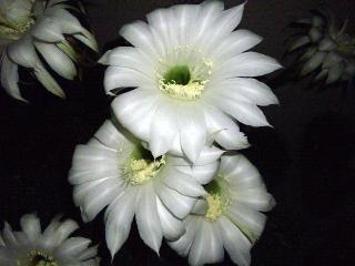 160609_3990今夜咲いた子サボテンの花VGA