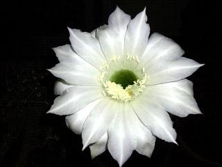 160609_3992今夜咲いた子サボテンの花VGA