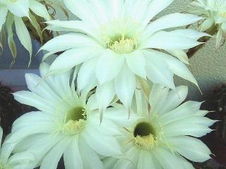 160610_3996今朝のベランダのサボテンの花VGA