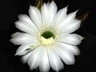 160615_4008今夜開いた子サボテンの花VGA