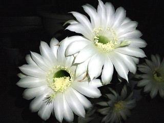 160616_4011今夜開いた子サボテンの花VGA