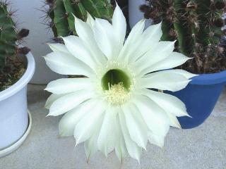 160702_4032今朝の子サボテンの花VGA