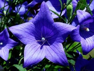 160702_4031ご近所の花壇に咲いた桔梗zoomVGA