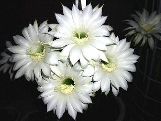 160715_4049今夜咲いた親サボテンの花VGA