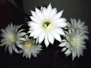 160715_4050今夜咲いた子サボテンの花VGA