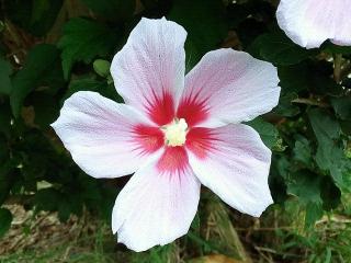 160725_4077花壇に咲いたムクゲの花VGA