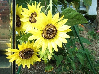 160803_4111バス停近くの花壇に咲いていた向日葵VGA