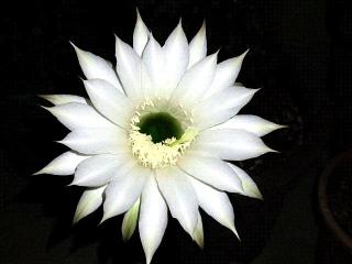 160803_4113今夜咲いた子サボテンの花・正面からVGA