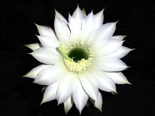 160807_4116今夜開いた子サボテンの花・正面VGA