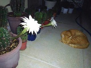 160810_4121今夜咲いたサボテンの花とトラ美ちゃんVGA