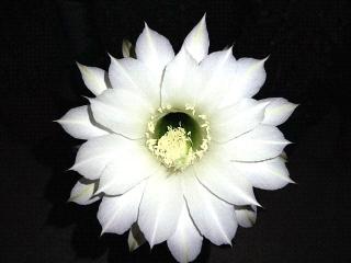160810_4122今夜咲いたサボテンの花・正面VGA