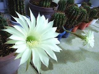 160811_4123今朝のサボテンの花VGA