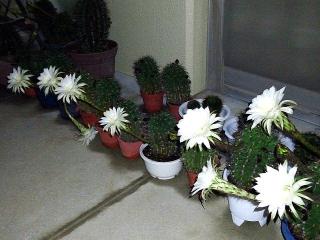 160812_4125今夜のサボテンの花達wideVGA