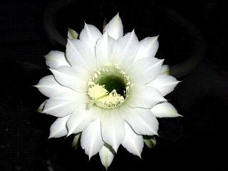 160812_4126今夜のサボテンの花zoomVGA