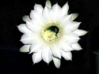 160826_4143今夜咲いた子サボテンの花zoomVGA