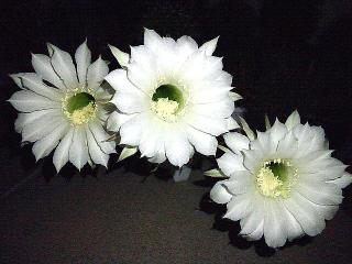 160929_4207今夜11輪咲き揃ったサボテンの花達zoomVGA
