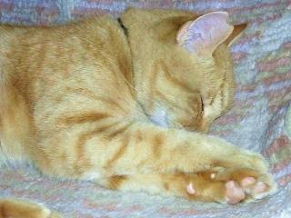 161023_4269 うちの「地域猫」トラ美ちゃんの寝姿VGA
