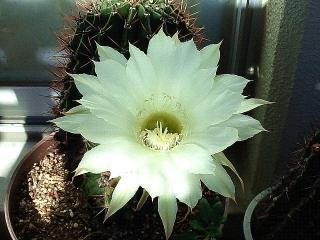 161029_4277今朝のサボテンの花・正面VGA