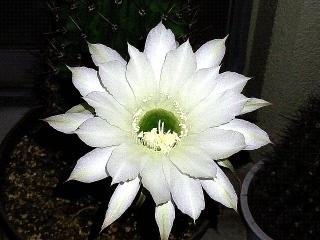 161029_4279夜まで保ったサボテンの花VGA