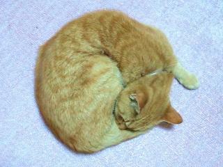 161115_4301今朝のトラ美ちゃん・一匹猫鍋VGA