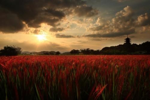 赤い稲穂の夕べ