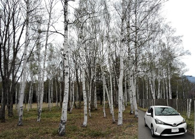 16 白樺林