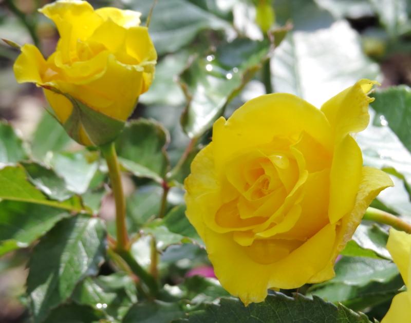 Rosa Friesia